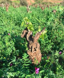 Grenache Blanc Lodévois avec semis d'engrais vert