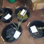 Botanique et contrôles maturités de chardonnay et merlot