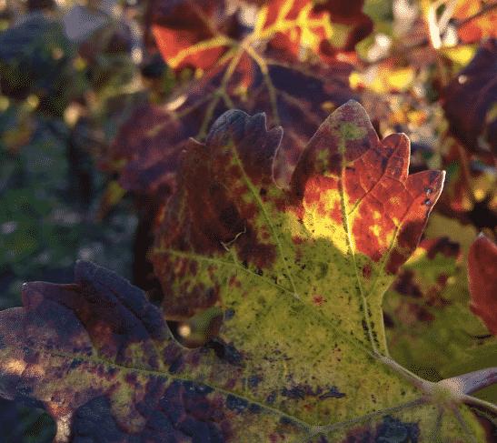 Vigne aux couleurs d'automne